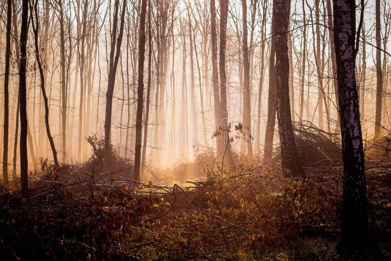 El bosque místico oscuro en la caída de la mañana, luz penetra a través del fog_ fotos de archivo