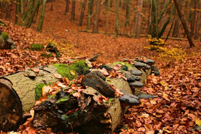 El bosque natural del otoño con el tronco de árbol cubierto con ligamaza prolifera rápidamente fotos de archivo libres de regalías
