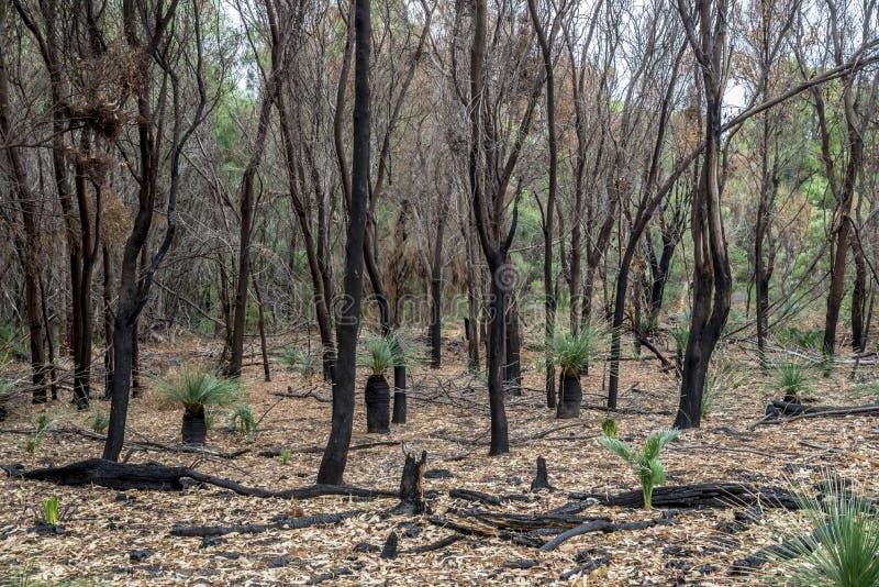 El bosque quemado permanece después de bushfire en el parque nacional de Yanchep imagen de archivo libre de regalías