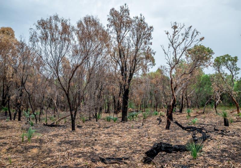 El bosque quemado permanece después de bushfire en el parque nacional de Yanchep imagen de archivo