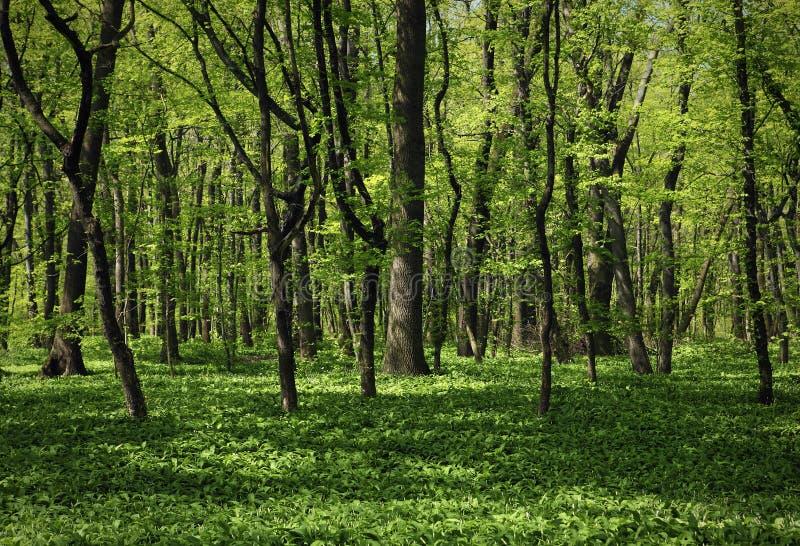 El bosque verde foto de archivo
