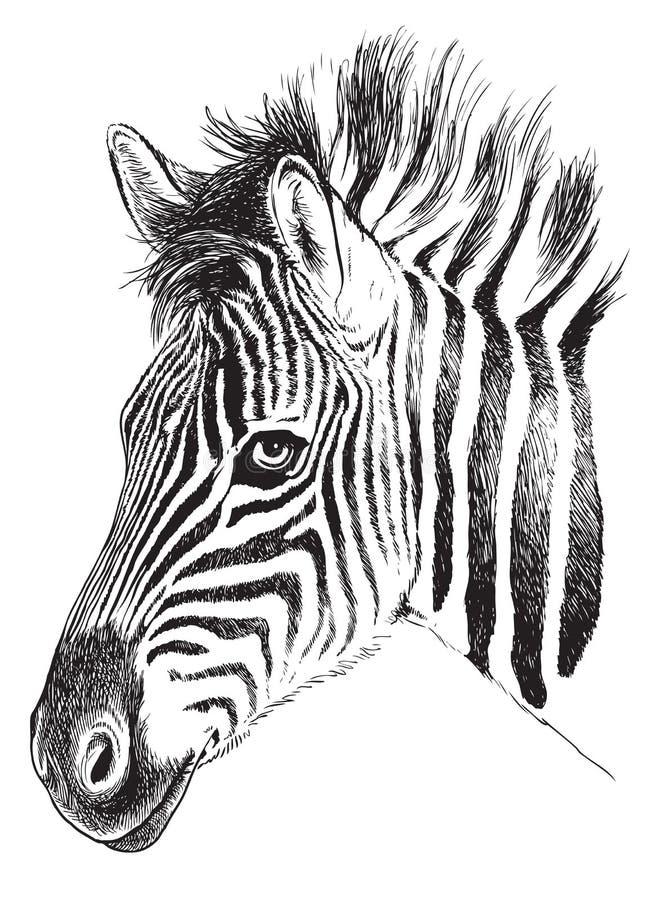 El bosquejo blanco y negro de un Zebra's joven hace frente ilustración del vector