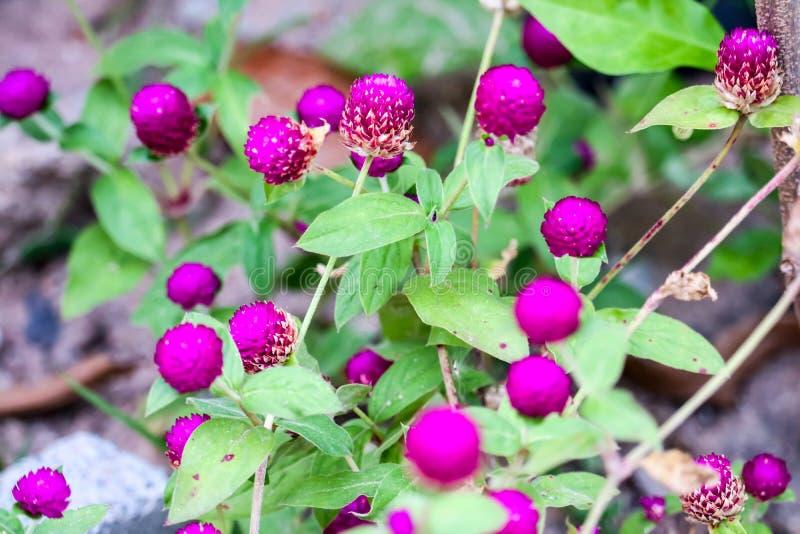 El botón del soltero s, agaga del botón, eterno, Gomphrena, amaranto de globo, eterno nacarado es nombre de esta flor imagen de archivo libre de regalías