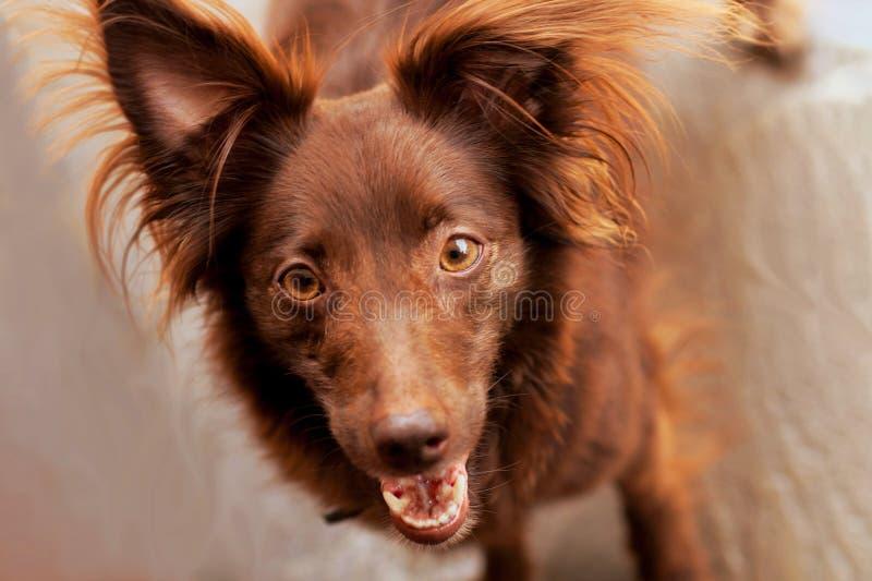 El bozal de la cabeza y de la cara de poco chucho rojo del perro con la nariz y los ojos de almendra rojos, oídos para arriba imagen de archivo libre de regalías