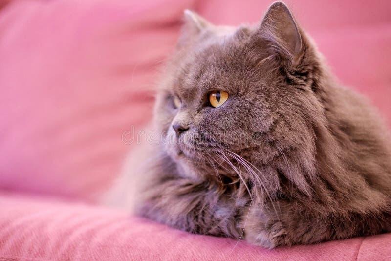 El bozal del gato británico de pelo largo grande gris miente en un sofá rosado Aumento de peso del concepto durante los días de f fotos de archivo