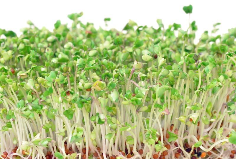 El bróculi verde joven brota para las ensaladas y los platos sanos fotografía de archivo