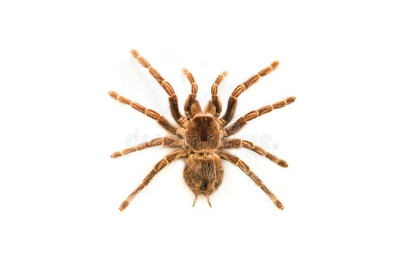 El brachypelma de la araña smithyisolated imagen de archivo libre de regalías