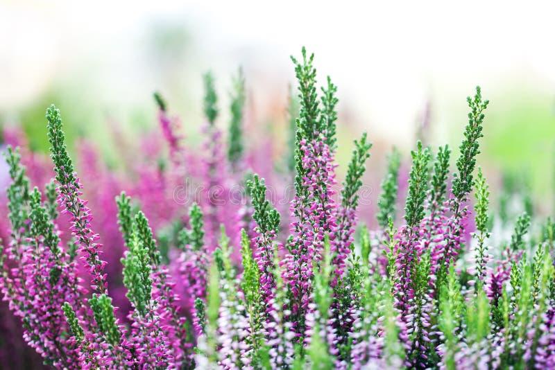 El brezo florece paisaje del prado Pequeñas plantas violetas florecientes del pétalo Foco selectivo, profundidad del campo baja imagenes de archivo