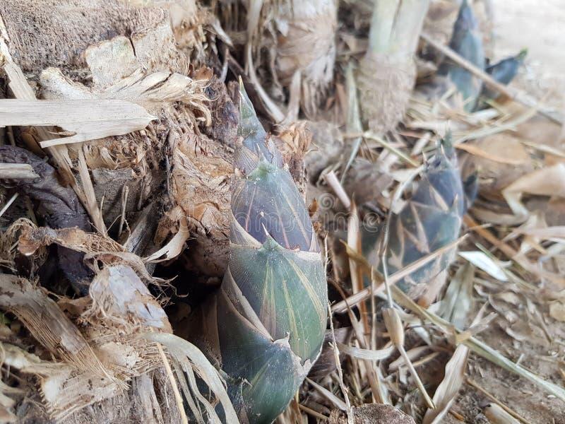 El brote de bambú o el brote de bambú que crece en el bosque fotos de archivo