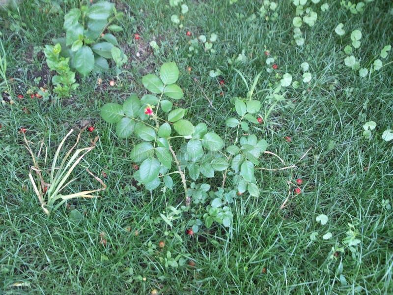 El brote de una flor de la rosa imagen de archivo