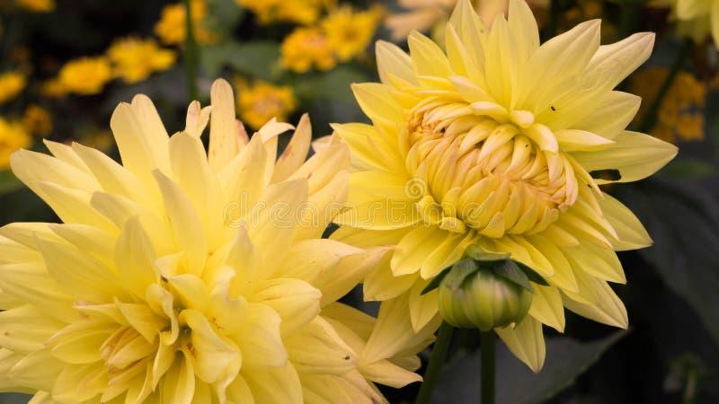 El brote no es primer amarillo abierto del crisantemo fotografía de archivo