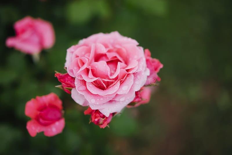 El brote rosado macro de subió en un primer verde del fondo con las gotas de agua del agua, las flores románticas hermosas para l foto de archivo libre de regalías
