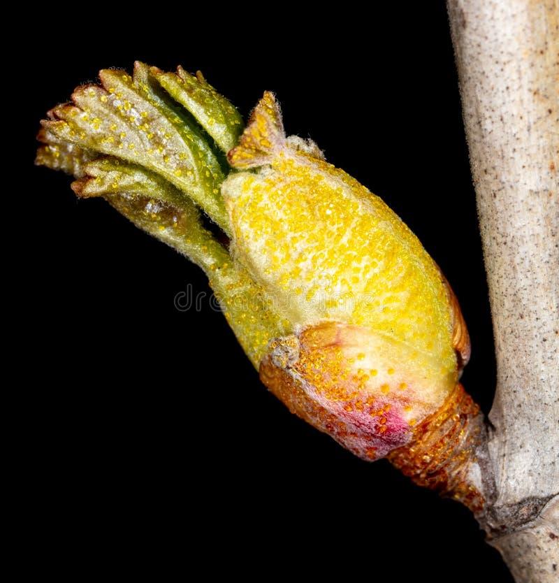 El brote se abre en una rama de árbol fotografía de archivo libre de regalías