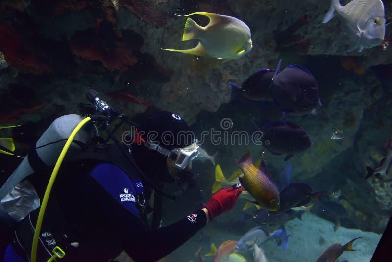 El buceador alimenta los pescados en el acuario imagen de archivo