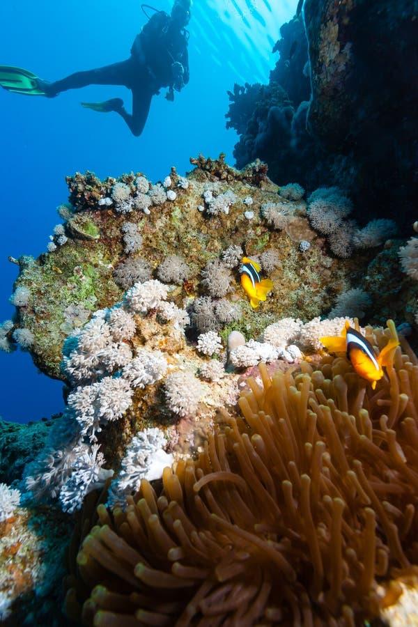 El buceador mira un par de Clownfish fotografía de archivo libre de regalías