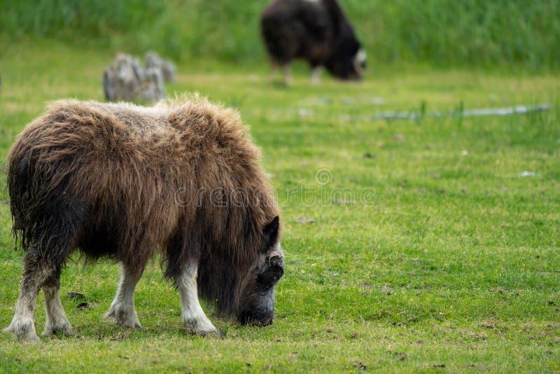 El buey de almizcle de Alaska pasta en un pasto verde que come la hierba foto de archivo libre de regalías