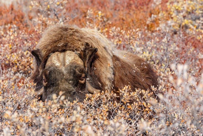 El buey de almizcle peludo que oculta en arbustos, cerca del pueblo de Kangerlusuaq, se pone verde fotos de archivo libres de regalías