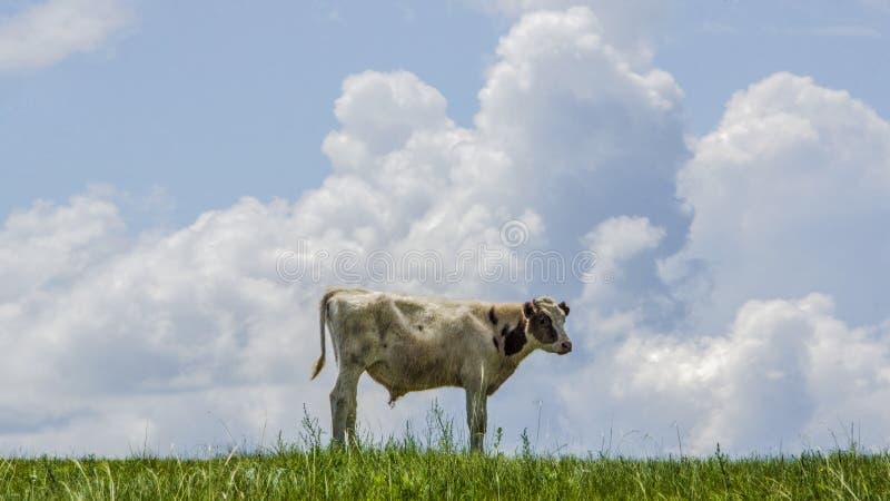 El buey guarda la compañía de la nube imagenes de archivo