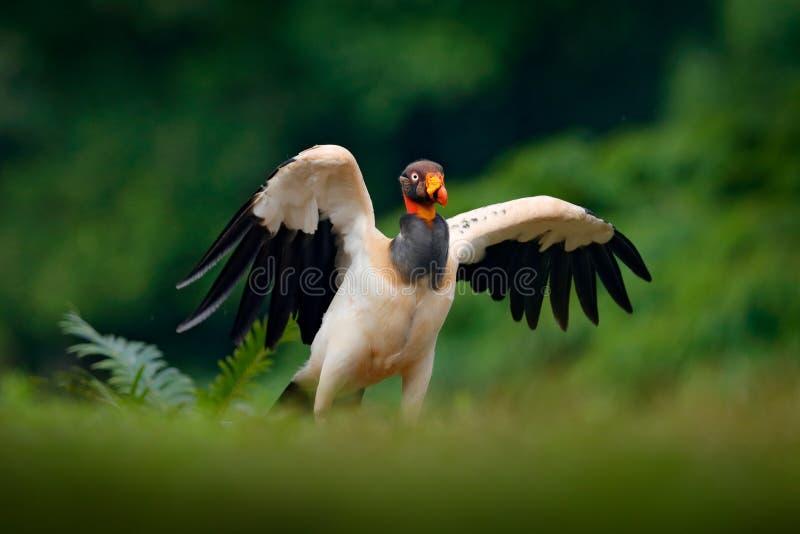 El buitre de rey, papá de Sarcoramphus, pájaro grande encontró en central y Suramérica Pájaro de vuelo, bosque en el fondo Sc de  imagen de archivo