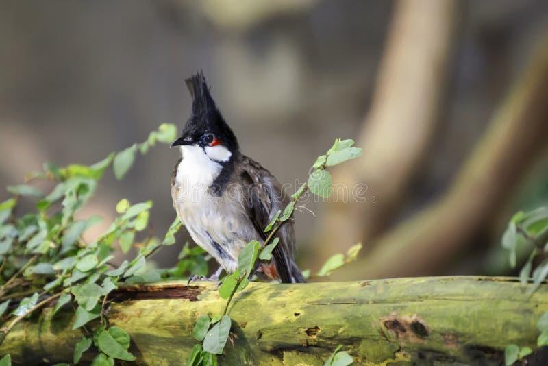 El bulbul rojo-patilludo del pájaro se sienta en el tronco de un árbol caido viejo fotos de archivo