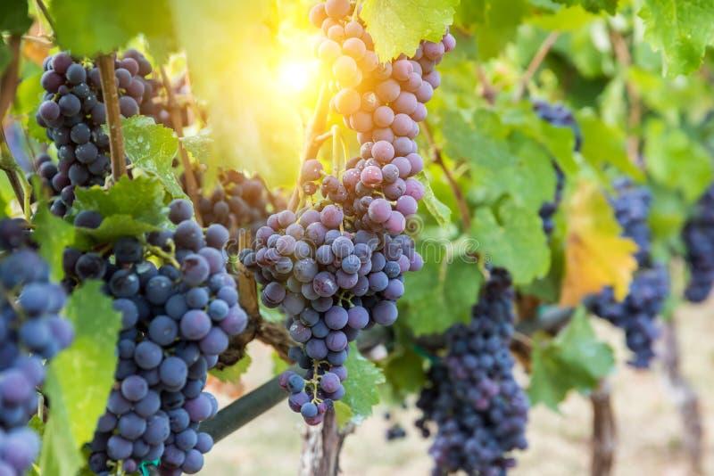 El bunche grande de las uvas de vino rojo cuelga de una vid imágenes de archivo libres de regalías