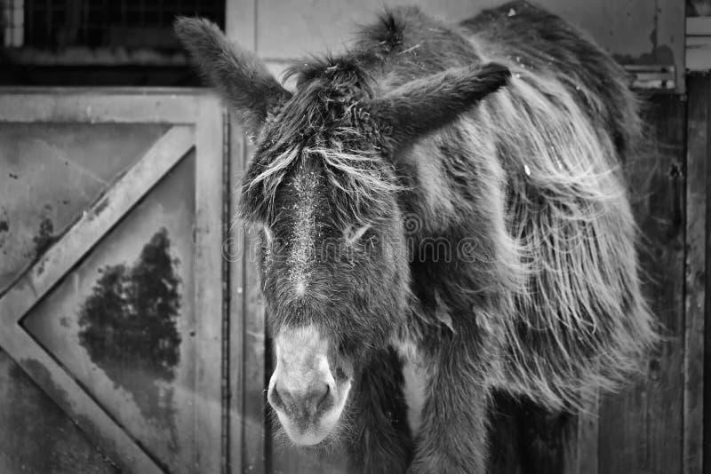 El burro blanco y negro imagen de archivo
