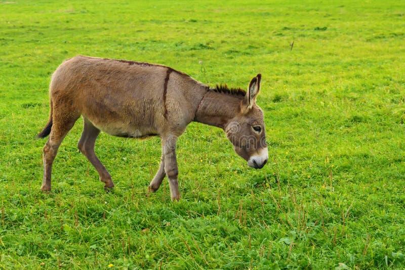 El burro pasta en un prado verde en el otoño fotografía de archivo