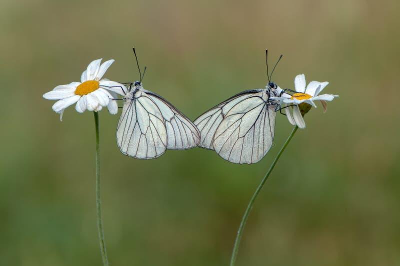 el butterflyrus del crataegi de Aporia de dos mariposas se sienta en una flor de la margarita foto de archivo