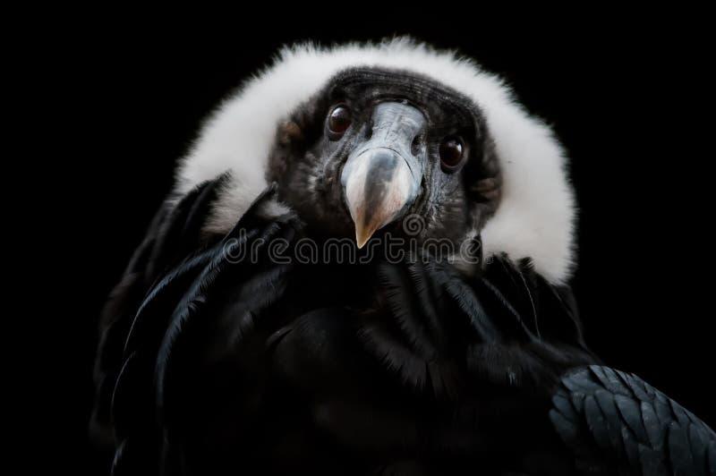El cóndor andino (gryphus del Vultur) fotos de archivo libres de regalías