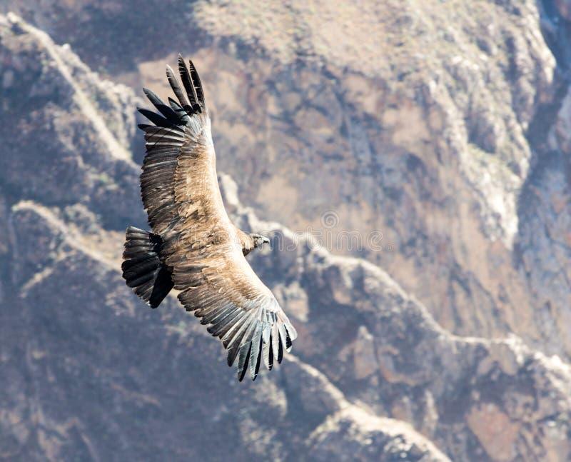 El cóndor del vuelo sobre el barranco de Colca, Perú, Suramérica esto es un cóndor el pájaro de vuelo más grande foto de archivo