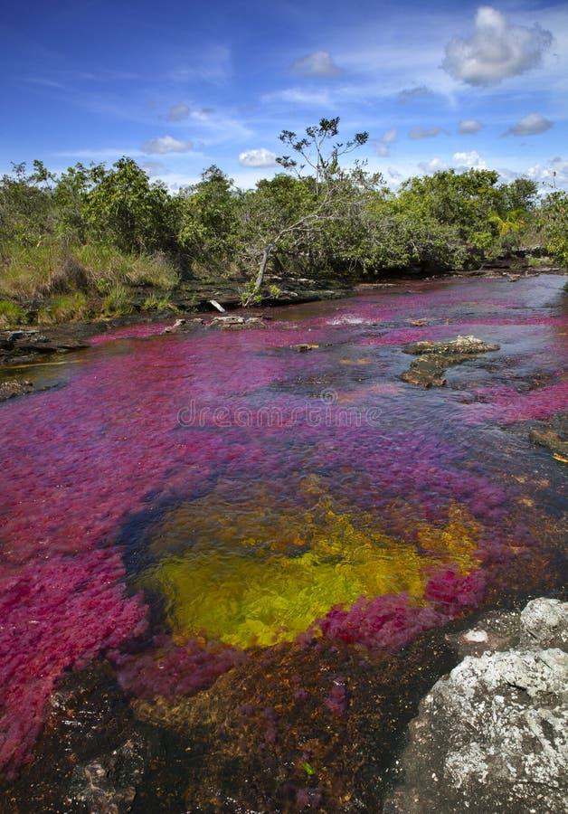 El Caño Cristales, uno de los ríos más hermosos del mundo imagen de archivo libre de regalías