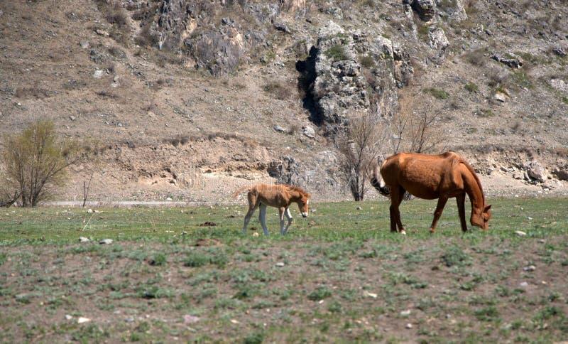 El caballo adulto con el potro pasta en el pie de la montaña Altai, Siberia, Rusia Animales fotos de archivo libres de regalías
