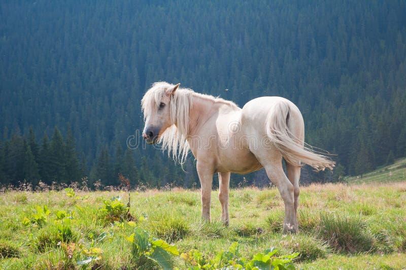 El caballo blanco hermoso en un bosque cárpato del fondo fotografía de archivo
