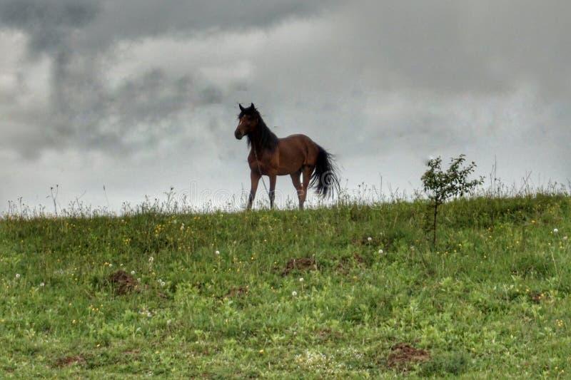 El caballo casero pasta en un césped verde en las montañas foto de archivo