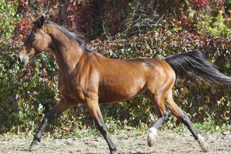 el caballo con una melena negra corre en el fondo de arbustos coloridos fotografía de archivo
