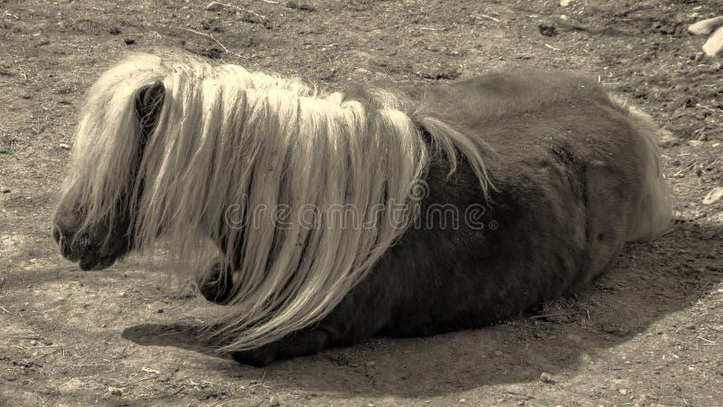 El caballo de reclinación blanco y negro fotografía de archivo