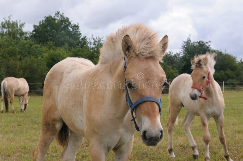 El caballo del fiordo o caballo noruego del fiordo - potro imagenes de archivo