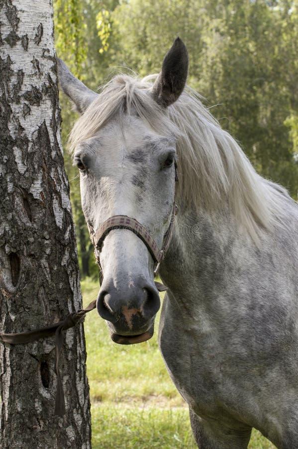 El caballo gris cerca del árbol imagen de archivo libre de regalías