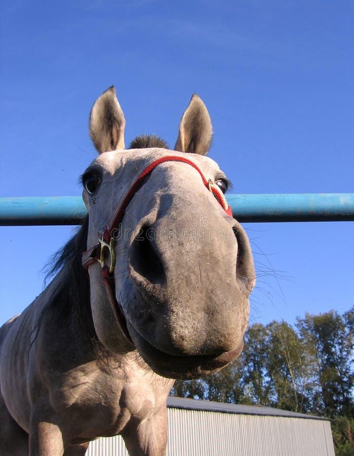 El caballo gris empujó una cabeza divertida de la cara de la nariz curiosa fotografía de archivo libre de regalías