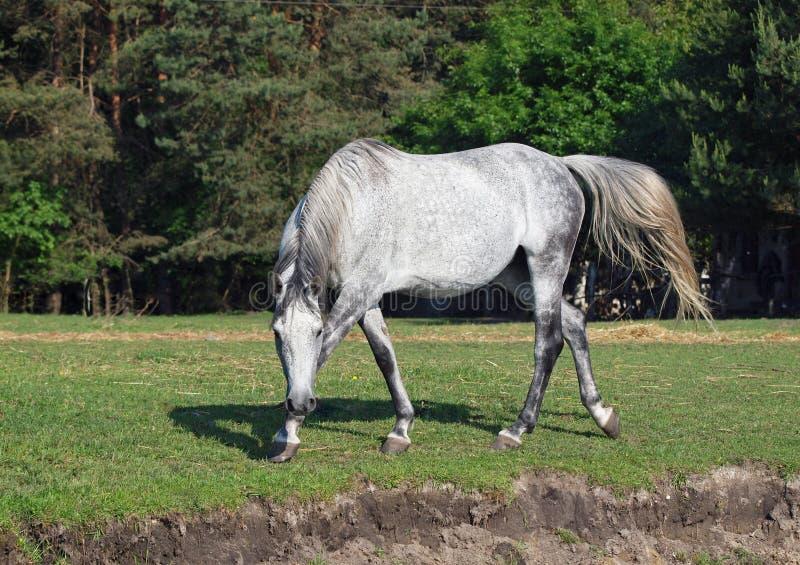El caballo hermoso camina agraciado fotos de archivo libres de regalías