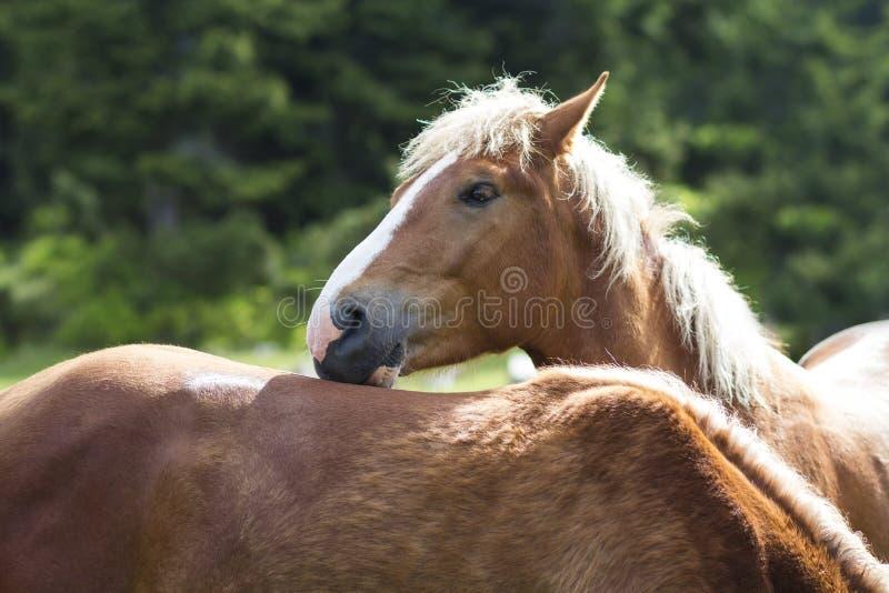 El caballo hermoso de la castaña con las rayas blancas y la melena larga mira foto de archivo