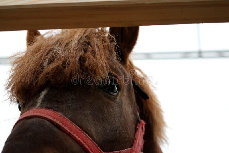 El caballo hermoso del bozal en freno rojo parece hacia fuera cercano imágenes de archivo libres de regalías