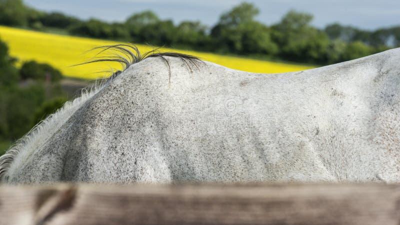 El caballo marchita fotografía de archivo libre de regalías