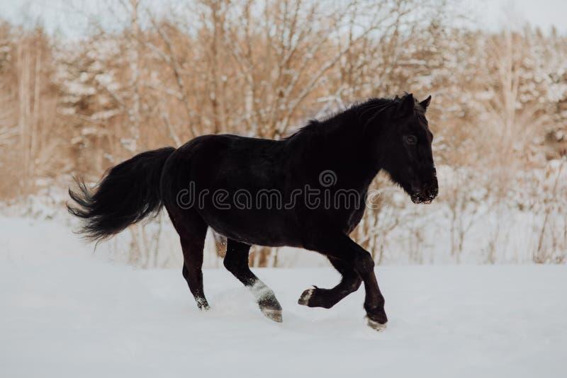 El caballo negro funciona con galope en invierno en la nieve blanca en bosque foto de archivo libre de regalías