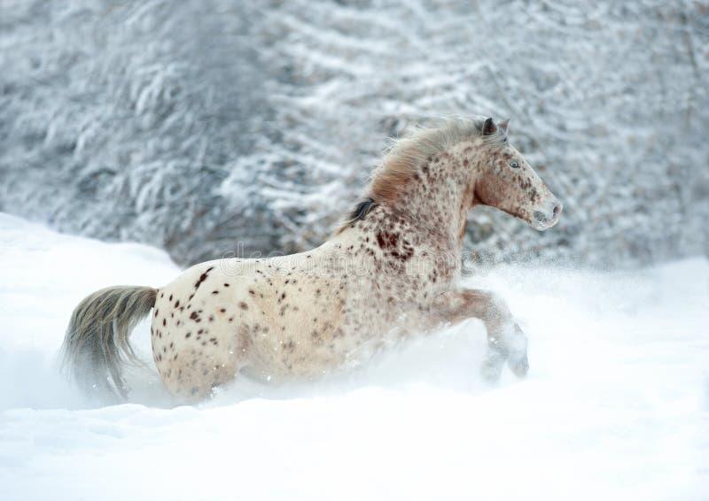 El caballo raro del appaloosa de la raza del altai corre en la nieve fotografía de archivo