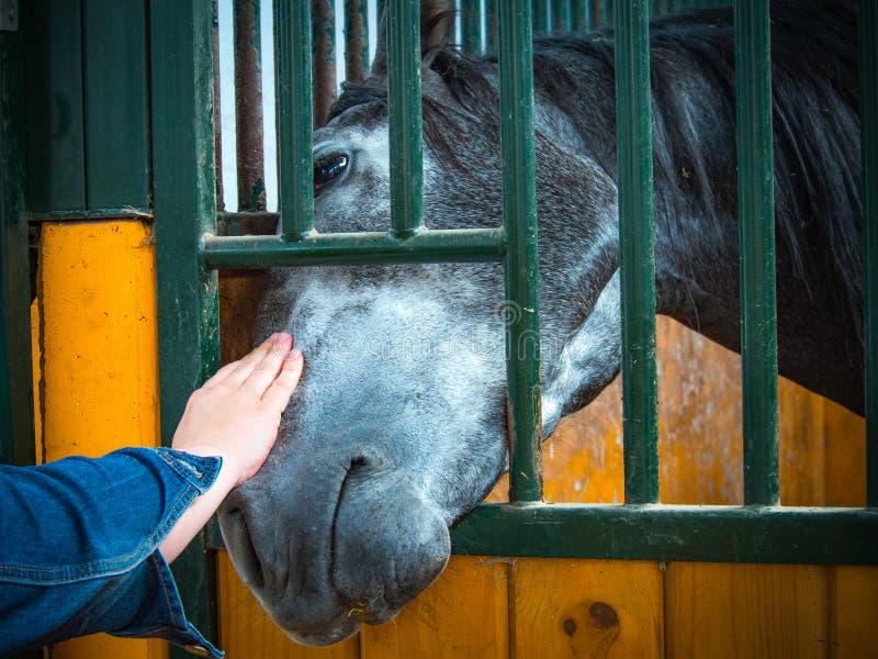 El caballo recibe cuidados imagen de archivo libre de regalías