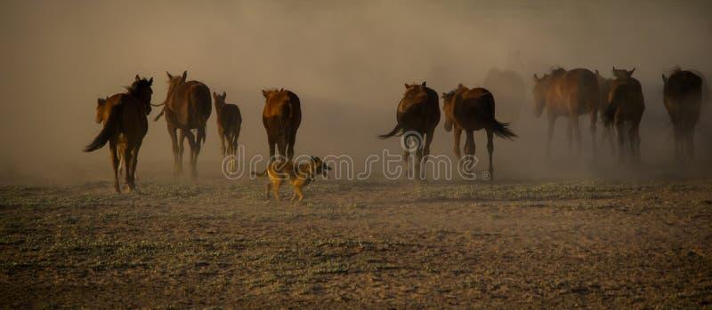 El caballo salvaje reúne el funcionamiento en la caña, kayseri, pavo imágenes de archivo libres de regalías