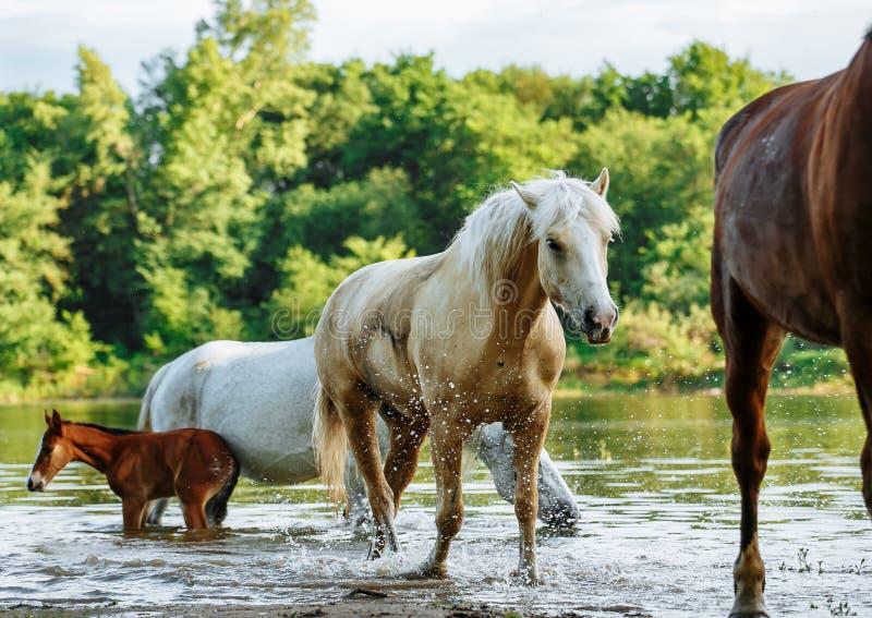 El caballo vino al r?o beber el agua fotos de archivo