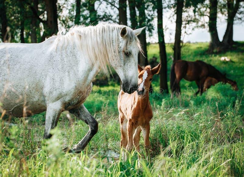 El caballo vino al r?o beber el agua fotos de archivo libres de regalías