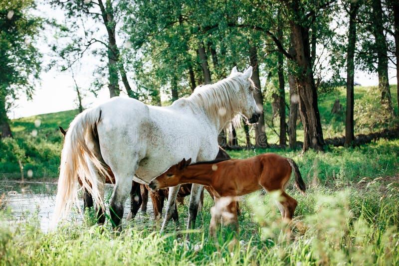 El caballo vino al r?o beber el agua imagen de archivo libre de regalías